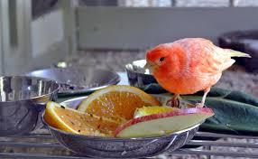 نقش ویتامینها و میوه و سبزیجات در سلامتی انواع قناری و پرندگان زینتی