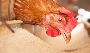 شرایط استفاده از پسماندها و غذاهای جایگزین برای پرورش مرغ