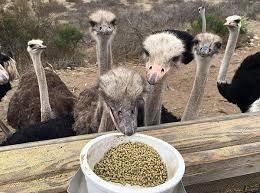 خوراک و تغذیه شترمرغ