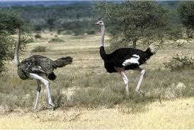شرایط جفت گیری و تولید مثل شتر مرغ ها