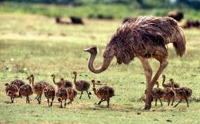 اصول کشتار و شرایط کشتارگاه های شتر مرغ