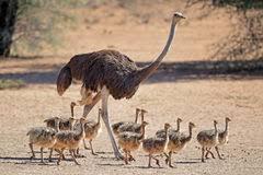 چگونه میتوان از پرورش شتر مرغ کسب درآمد کرد