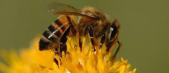 آموزش قسمتهای مختلف بدن زنبور عسل