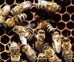 آموزش نحوه تکثیر و شناسایی رفتارهای زنبور عسل