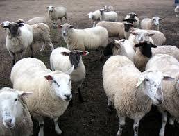 آموزش شناخت انگل های گوسفند