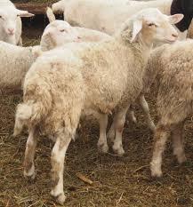 آموزش شناخت گوسفند آواسی