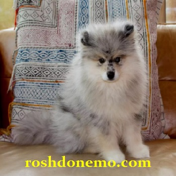آموزش نگهداری از سگ های نژاد پومسکی Pomsky
