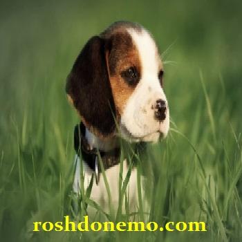 آموزش نگهداری از سگ های نژاد بیگل Beagle