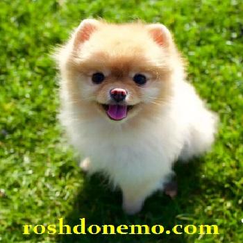 آموزش نگهداری از سگ های نژاد پومرایی یا Pomeranian