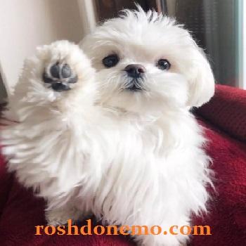آموزش نگهداری از سگ های نژاد مالتیز Maltese
