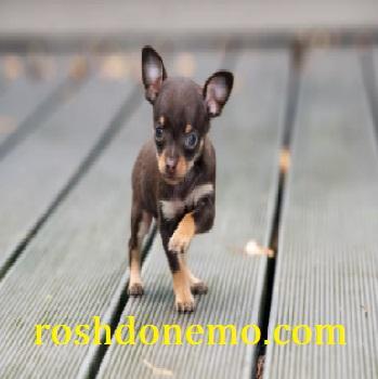 آموزش شناخت سگ های نژاد چیو هوا