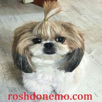آموزش شناخت سگ های نژاد شی تزو