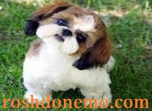 خصوصیات نژاد های برتر انواع سگ های مینیاتوری