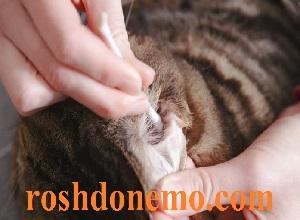 آموزش تمیز کردن گوش گربه ها با روغن زیتون