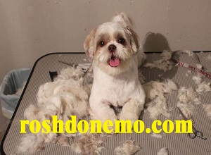 بهترین زمان برای کوتاه کردن موی سگ های خانگی