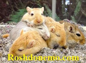 آیا همسترها به خواب زمستانی می روند